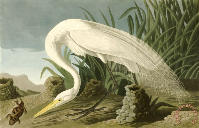 White Heron Painting by John James Audubon; White Heron Art Print for sale